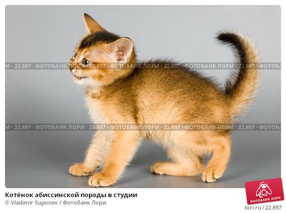 Котёнок абиссинской породы в студии, фото № 22897, снято 10 марта 2007 г. (c) Vladimir Suponev / Фотобанк Лори