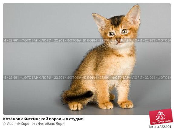 Котёнок абиссинской породы в студии, фото № 22901, снято 10 марта 2007 г. (c) Vladimir Suponev / Фотобанк Лори