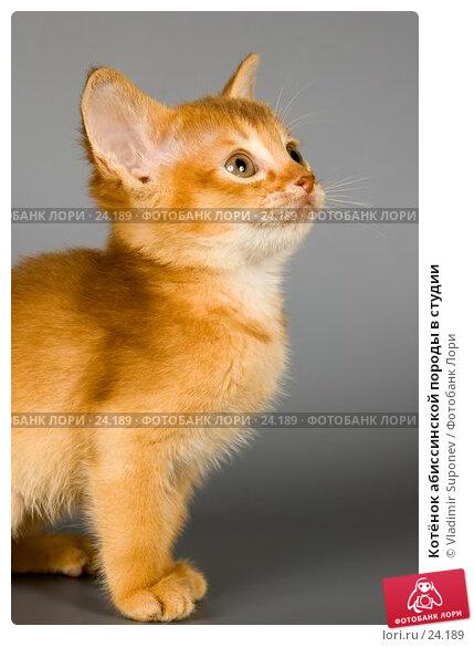 Котёнок абиссинской породы в студии, фото № 24189, снято 10 марта 2007 г. (c) Vladimir Suponev / Фотобанк Лори