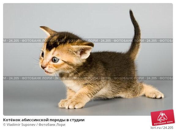 Котёнок абиссинской породы в студии, фото № 24205, снято 10 марта 2007 г. (c) Vladimir Suponev / Фотобанк Лори