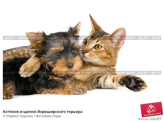 Котёнок и щенок йоркширского терьера, фото № 225877, снято 15 сентября 2007 г. (c) Vladimir Suponev / Фотобанк Лори