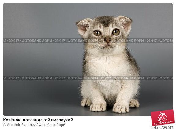 Котёнок шотландской вислоухой, фото № 29017, снято 17 марта 2007 г. (c) Vladimir Suponev / Фотобанк Лори