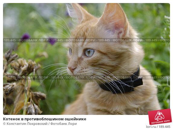 Купить «Котенок в противоблошином ошейнике», фото № 189445, снято 27 июля 2007 г. (c) Константин Покровский / Фотобанк Лори