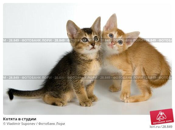 Котята в студии, фото № 28849, снято 31 марта 2007 г. (c) Vladimir Suponev / Фотобанк Лори