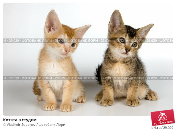 Котята в студии, фото № 29029, снято 31 марта 2007 г. (c) Vladimir Suponev / Фотобанк Лори