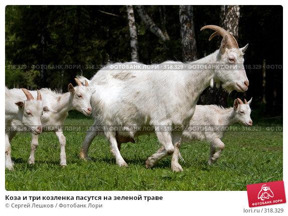 Коза и три козленка пасутся на зеленой траве, фото № 318329, снято 18 мая 2008 г. (c) Сергей Лешков / Фотобанк Лори