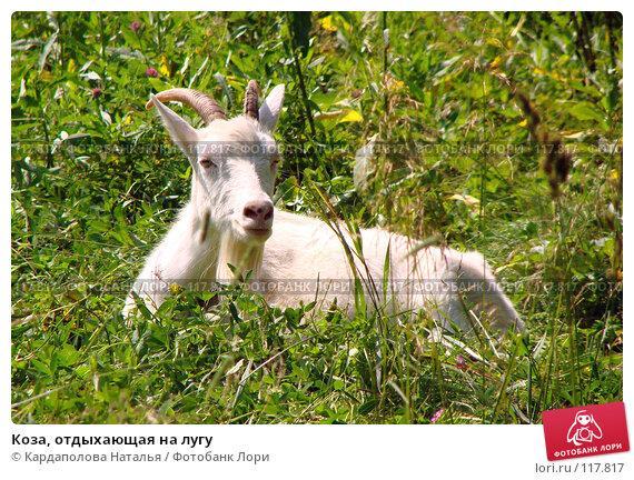 Коза, отдыхающая на лугу, фото № 117817, снято 9 июля 2007 г. (c) Кардаполова Наталья / Фотобанк Лори