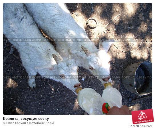 Козлята, сосущие соску, фото № 230921, снято 12 мая 2007 г. (c) Олег Хархан / Фотобанк Лори