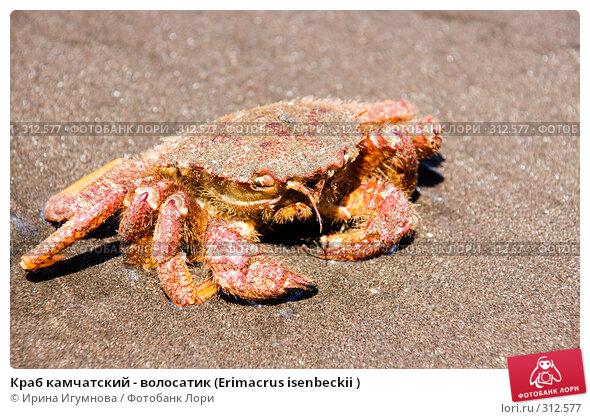 Краб камчатский - волосатик (Erimacrus isenbeckii ), фото № 312577, снято 6 июня 2008 г. (c) Ирина Игумнова / Фотобанк Лори