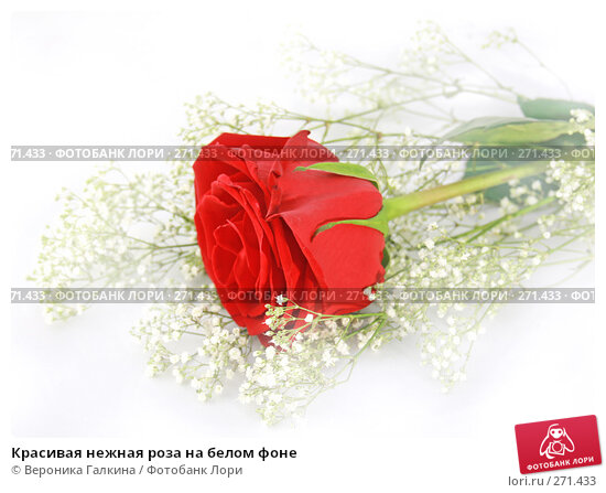 Красивая нежная роза на белом фоне, фото № 271433, снято 12 декабря 2007 г. (c) Вероника Галкина / Фотобанк Лори