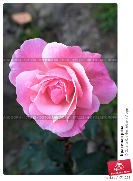 Купить «Красивая роза», фото № 171225, снято 26 апреля 2018 г. (c) Ольга С. / Фотобанк Лори