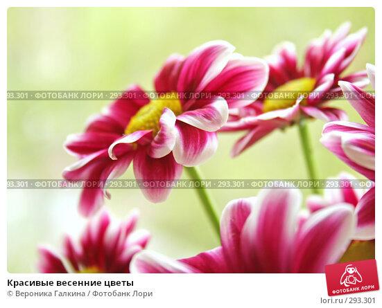 Красивые весенние цветы, фото № 293301, снято 1 мая 2008 г. (c) Вероника Галкина / Фотобанк Лори