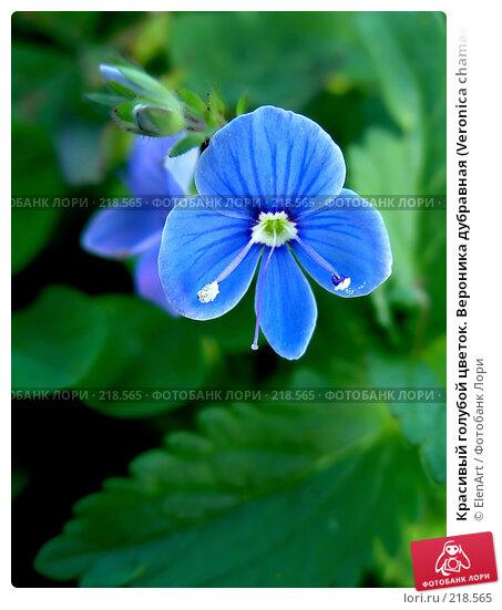 Красивый голубой цветок. Вероника дубравная (Veronica chamaedrys), фото № 218565, снято 28 октября 2016 г. (c) ElenArt / Фотобанк Лори