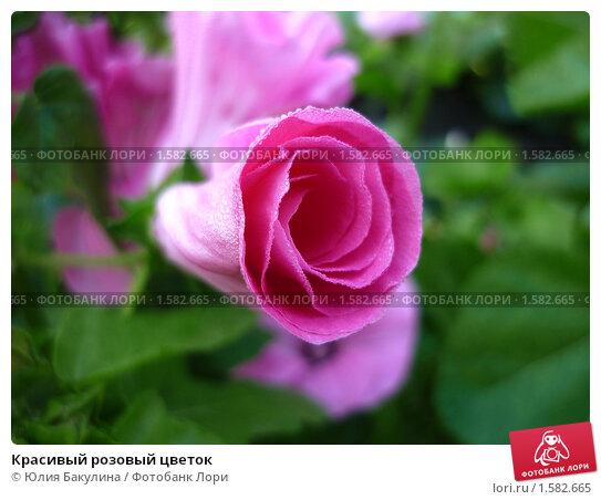 Красивый розовый цветок. Стоковое фото, фотограф Юлия Бакулина / Фотобанк Лори