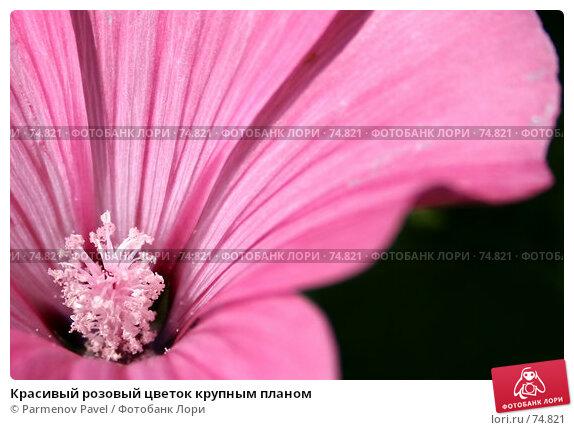 Красивый розовый цветок крупным планом, фото № 74821, снято 18 августа 2007 г. (c) Parmenov Pavel / Фотобанк Лори