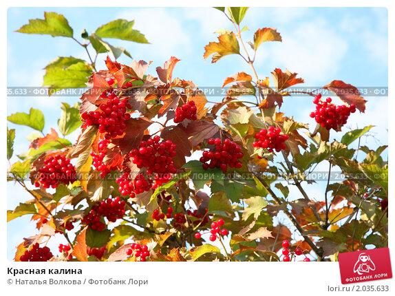 Купить «Красная калина», фото № 2035633, снято 21 сентября 2010 г. (c) Наталья Волкова / Фотобанк Лори