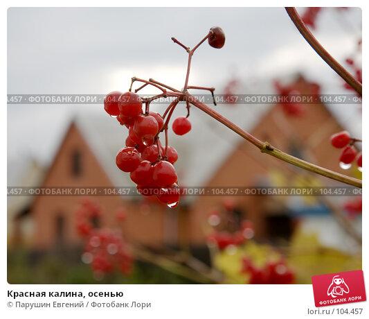 Купить «Красная калина, осенью», фото № 104457, снято 24 ноября 2017 г. (c) Парушин Евгений / Фотобанк Лори