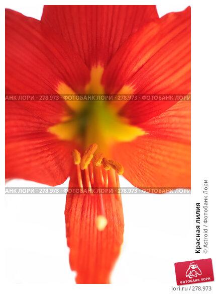 Красная лилия, фото № 278973, снято 30 апреля 2008 г. (c) Astroid / Фотобанк Лори