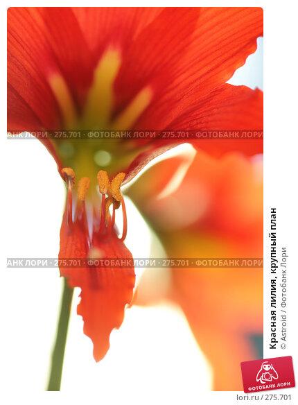 Красная лилия, крупный план, фото № 275701, снято 30 апреля 2008 г. (c) Astroid / Фотобанк Лори