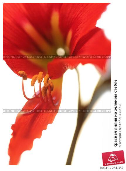 Красная лилия на зеленом стебле, фото № 281357, снято 30 апреля 2008 г. (c) Astroid / Фотобанк Лори