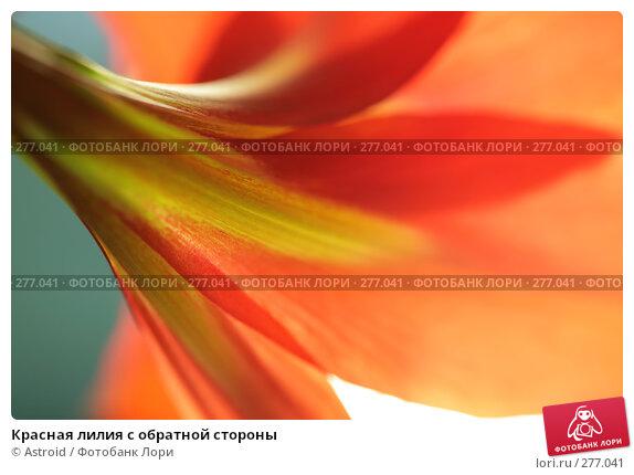 Красная лилия с обратной стороны, фото № 277041, снято 30 апреля 2008 г. (c) Astroid / Фотобанк Лори