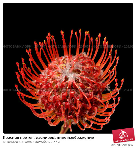Красная протея, изолированное изображение, фото № 204037, снято 17 февраля 2008 г. (c) Tamara Kulikova / Фотобанк Лори