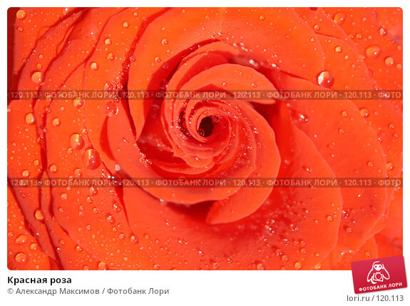 Красная роза, фото № 120113, снято 29 апреля 2006 г. (c) Александр Максимов / Фотобанк Лори