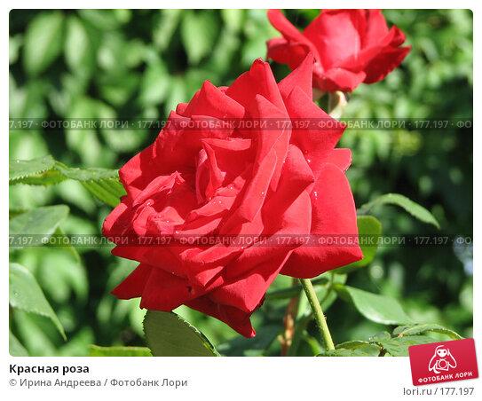 Красная роза, фото № 177197, снято 3 июля 2006 г. (c) Ирина Андреева / Фотобанк Лори