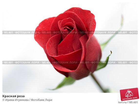 Красная роза, фото № 185601, снято 3 января 2008 г. (c) Ирина Игумнова / Фотобанк Лори