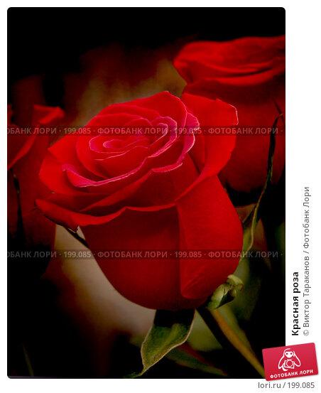 Красная роза, эксклюзивное фото № 199085, снято 7 февраля 2008 г. (c) Виктор Тараканов / Фотобанк Лори
