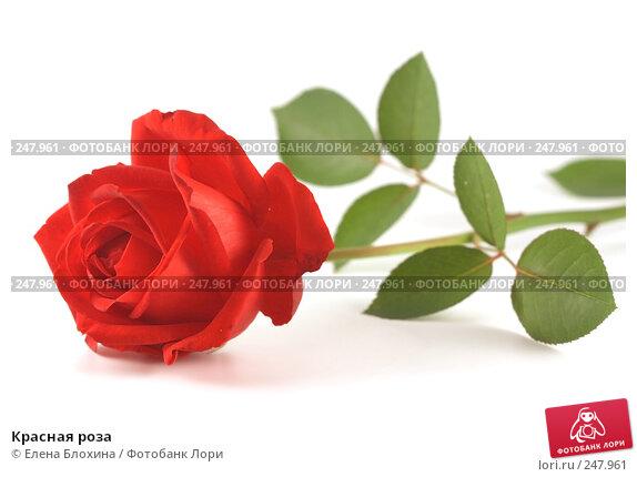 Красная роза, фото № 247961, снято 22 сентября 2007 г. (c) Елена Блохина / Фотобанк Лори