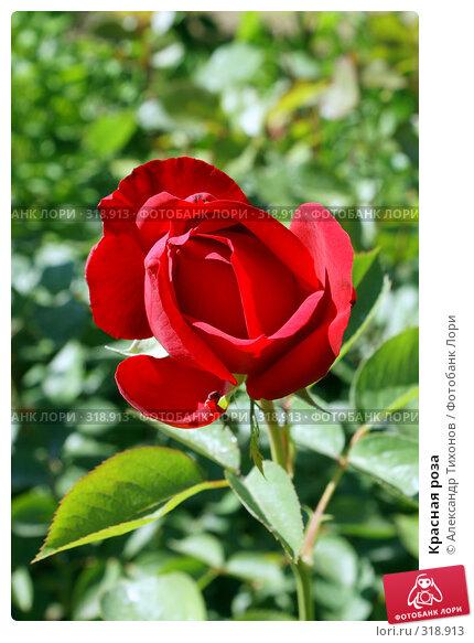 Красная роза, фото № 318913, снято 10 мая 2008 г. (c) Александр Тихонов / Фотобанк Лори