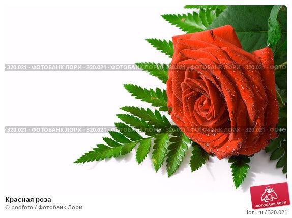 Красная роза, фото № 320021, снято 31 августа 2007 г. (c) podfoto / Фотобанк Лори
