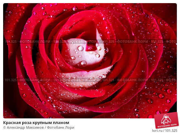 Красная роза крупным планом, фото № 101325, снято 10 марта 2007 г. (c) Александр Максимов / Фотобанк Лори