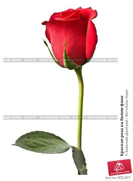 Красная роза на белом фоне, фото № 672417, снято 24 января 2009 г. (c) Баевский Дмитрий / Фотобанк Лори