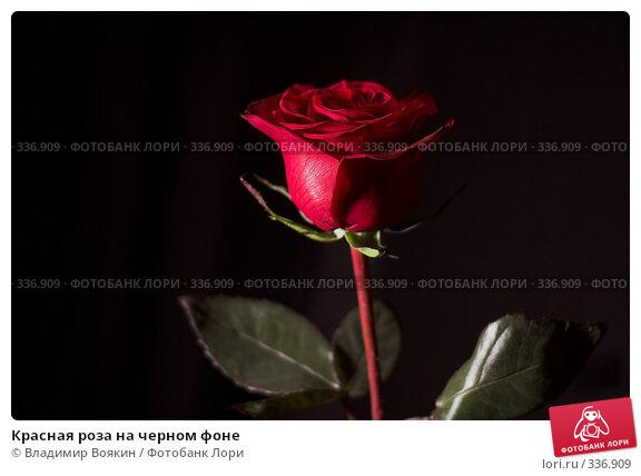 Красная роза на черном фоне, фото № 336909, снято 14 января 2008 г. (c) Владимир Воякин / Фотобанк Лори