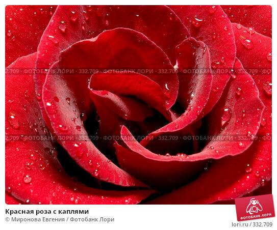 Красная роза с каплями, фото № 332709, снято 12 января 2008 г. (c) Миронова Евгения / Фотобанк Лори