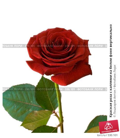 Красная роза с каплями на белом фоне вертикально, фото № 330101, снято 24 марта 2017 г. (c) Лошкарев Антон / Фотобанк Лори