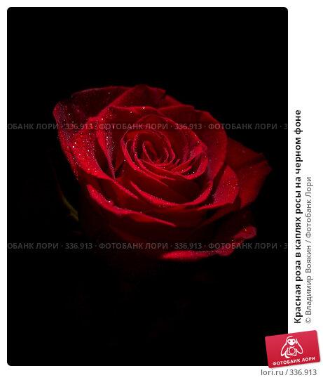 Красная роза в каплях росы на черном фоне, фото № 336913, снято 14 января 2008 г. (c) Владимир Воякин / Фотобанк Лори