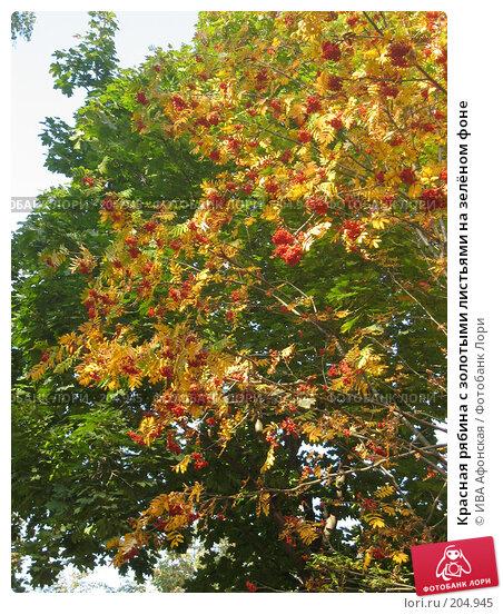 Красная рябина с золотыми листьями на зелёном фоне, фото № 204945, снято 25 сентября 2006 г. (c) ИВА Афонская / Фотобанк Лори