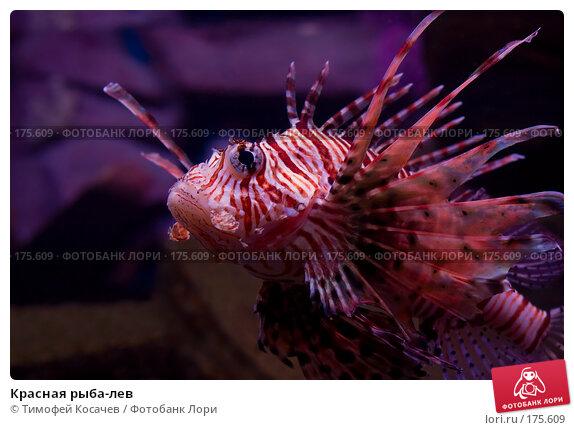 Красная рыба-лев, фото № 175609, снято 24 ноября 2007 г. (c) Тимофей Косачев / Фотобанк Лори
