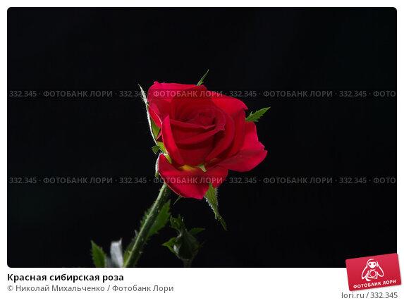 Красная сибирская роза, фото № 332345, снято 14 июня 2008 г. (c) Николай Михальченко / Фотобанк Лори