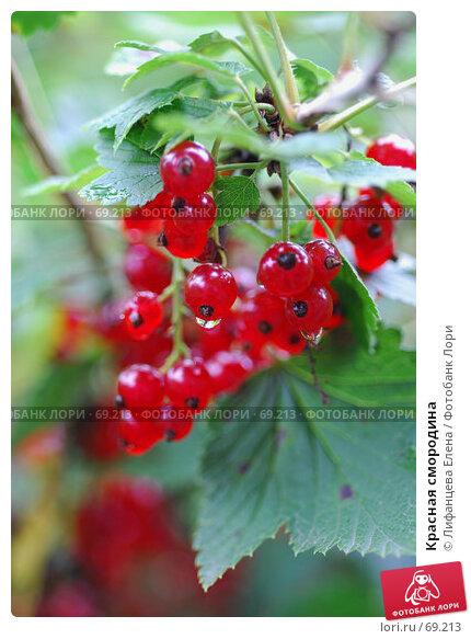 Красная смородина, фото № 69213, снято 1 августа 2007 г. (c) Лифанцева Елена / Фотобанк Лори