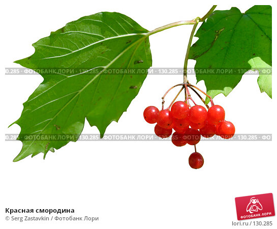 Красная смородина, фото № 130285, снято 18 сентября 2005 г. (c) Serg Zastavkin / Фотобанк Лори