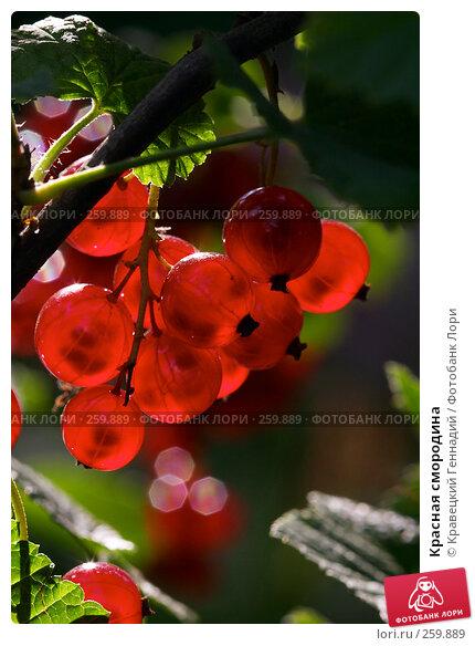 Красная смородина, фото № 259889, снято 17 июля 2004 г. (c) Кравецкий Геннадий / Фотобанк Лори
