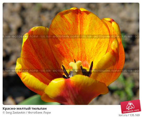 Красно-желтый тюльпан, фото № 135169, снято 20 мая 2005 г. (c) Serg Zastavkin / Фотобанк Лори