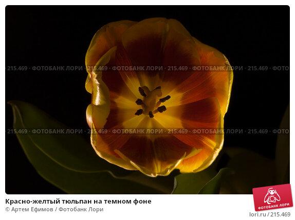 Красно-желтый тюльпан на темном фоне, фото № 215469, снято 5 марта 2008 г. (c) Артем Ефимов / Фотобанк Лори