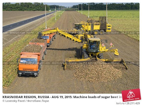 Купить «KRASNODAR REGION, RUSSIA - AUG 19, 2015: Machine loads of sugar beet into truck at field, In 2015 in Krasnodar region have collected record grain harvest - 102 million tons of grain», фото № 28211429, снято 19 августа 2015 г. (c) Losevsky Pavel / Фотобанк Лори