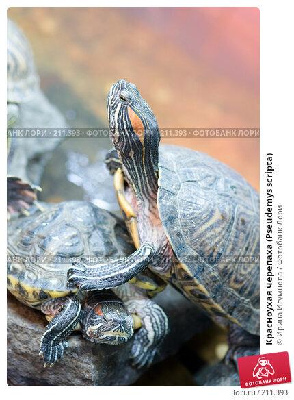 Купить «Красноухая черепаха (Pseudemys scripta)», фото № 211393, снято 11 января 2008 г. (c) Ирина Игумнова / Фотобанк Лори