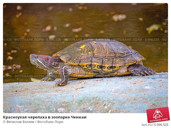 Красноухая черепаха в зоопарке
